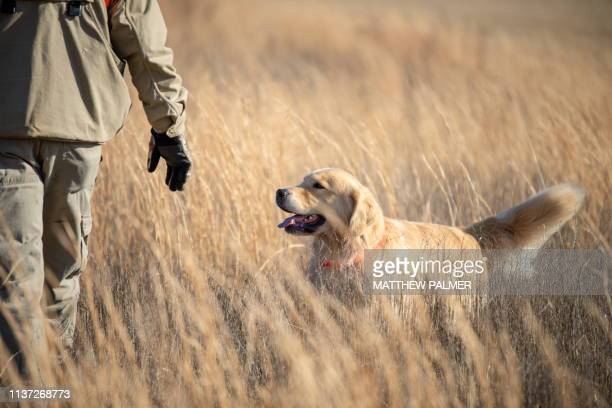 upland hunting with golden retriever - hunting dog stock pictures, royalty-free photos & images