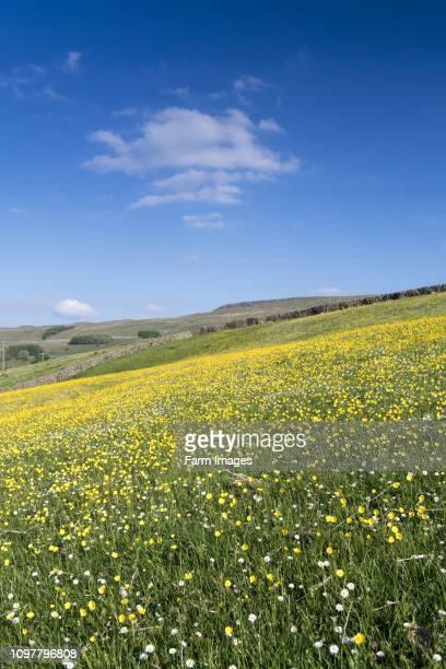 Upland wildflower meadow above Hawes in upper Wensleydale, early spring.