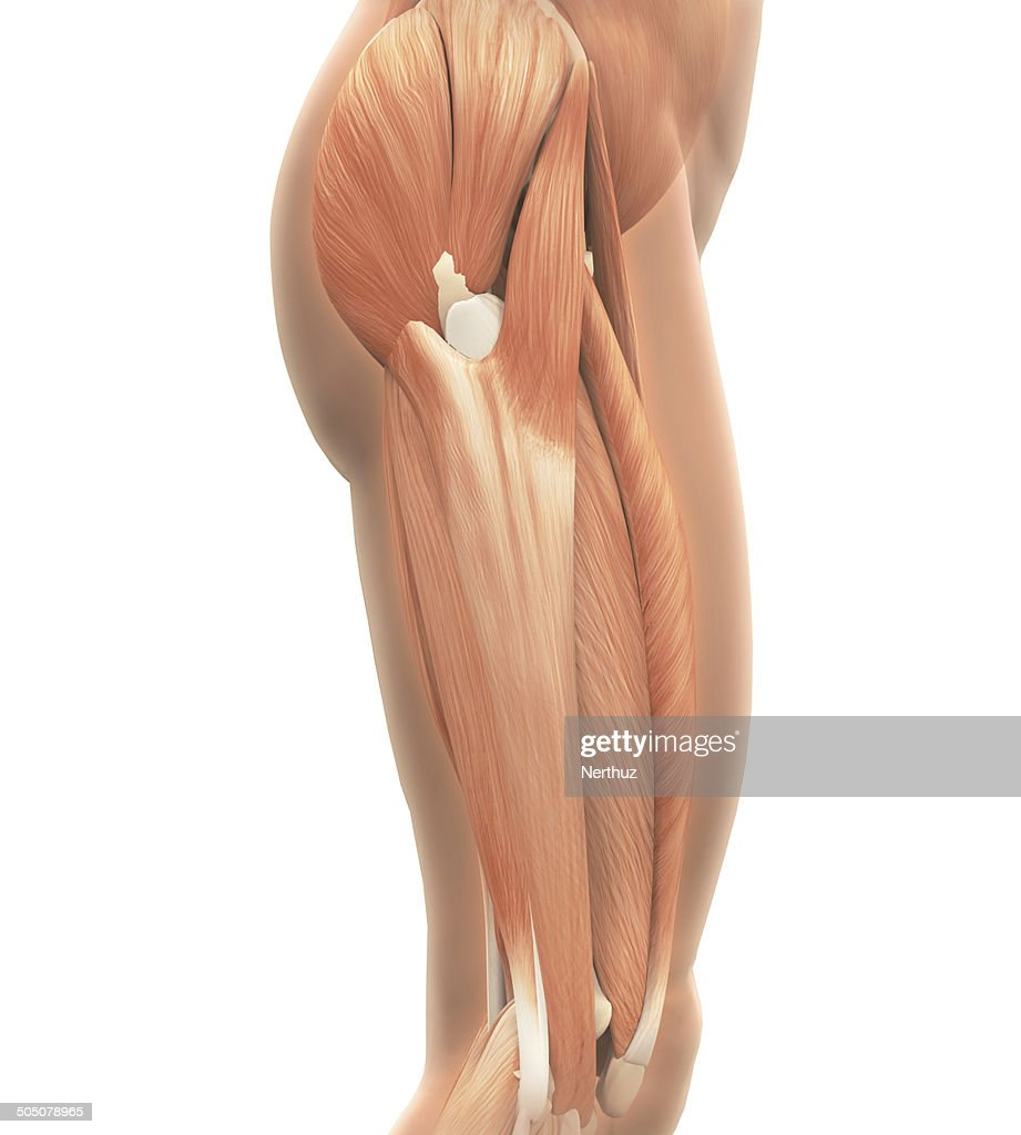 Upper Legs Muscles Anatomy Stock Photo Getty Images