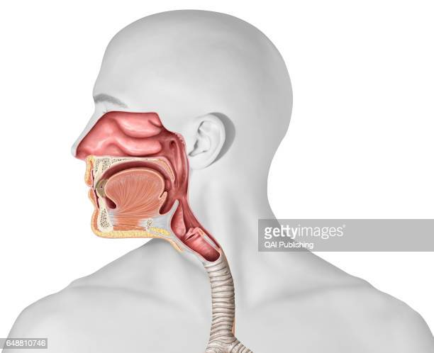 Upper organs of the respiratory system This image shows the upper organs of the respiratory system which are the nasal cavity the epiglottis the...
