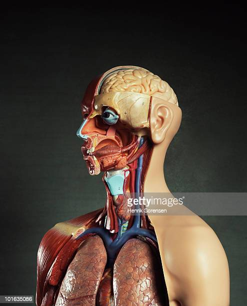 upper torso portrait of anatomical figure - newhealth stock pictures, royalty-free photos & images