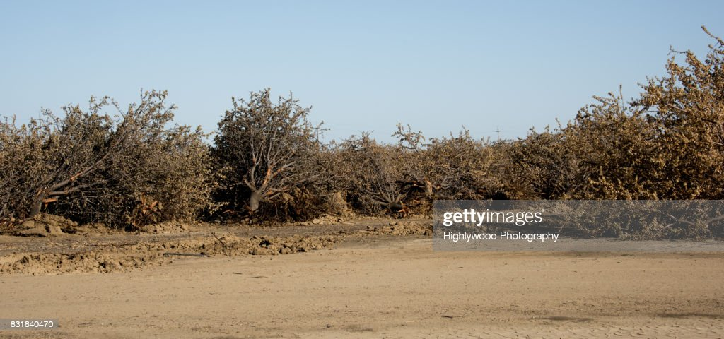 Uprooted Almond Trees : Stock Photo