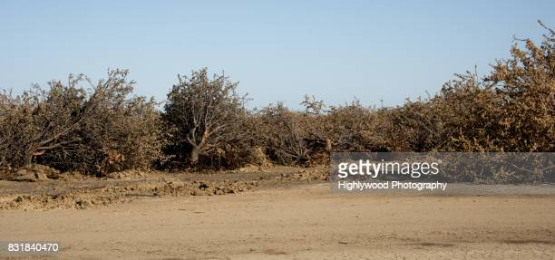 uprooted almond trees - highlywood stock pictures, royalty-free photos & images