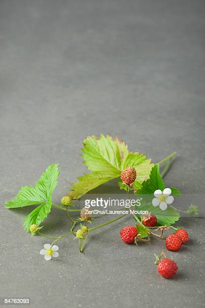 uprooted strawberry plant - unripe stock pictures, royalty-free photos & images