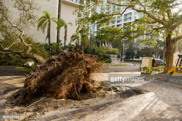Uprooted tree in Brickell after Hurricane Irma