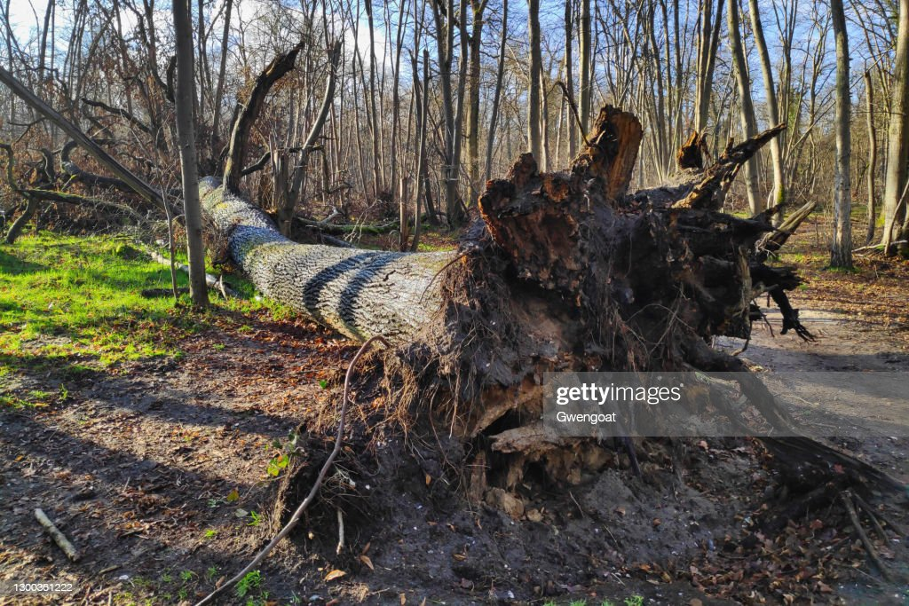 Uprooted tree in the woods : Stock Photo