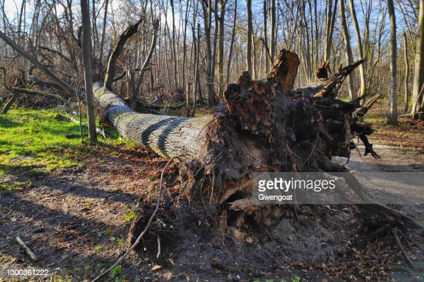 uprooted tree in the woods - gwengoat stock pictures, royalty-free photos & images