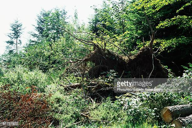 uprooted tree - isabelle foret photos et images de collection