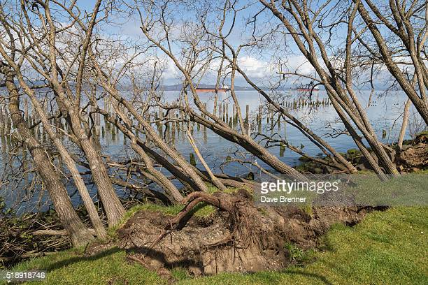 Uprooted trees showing erosion along the Columbia River in Astoria, Oregon, United States, North America