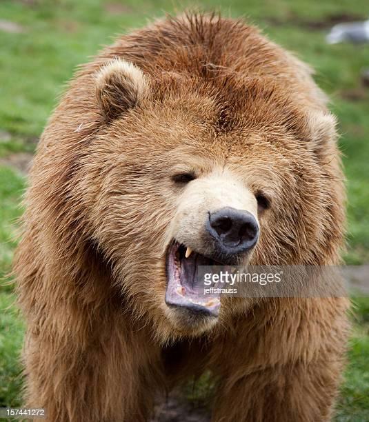 upset grizzly bear XXXL