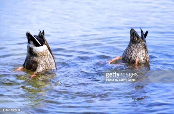 upside down ducks - anatra uccello acquatico foto e immagini stock