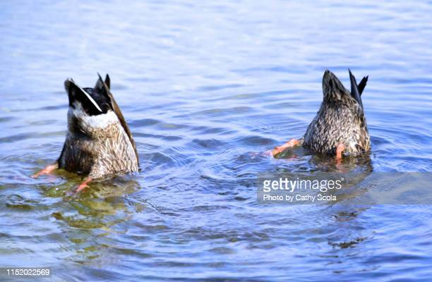 upside down ducks - 水鳥 ストックフォトと画像