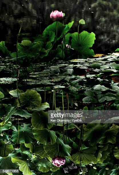 Upside Down Image Of Lotus Water Lily And Leaves Reflecting In Water