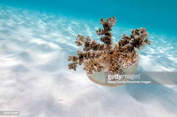 upside down jellyfish over sand in caribbean sea. - upside down jellyfish stock pictures, royalty-free photos & images