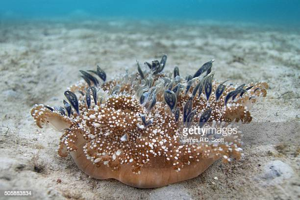 upside down jellyfish - upside down jellyfish stock pictures, royalty-free photos & images