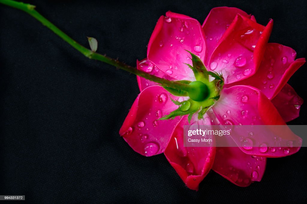 Upside Down Rose Stock Photo Getty Images