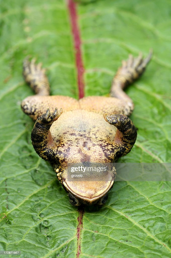 Upside down toad : Stock Photo