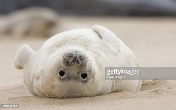 upside down world. - baby seal stock photos and pictures