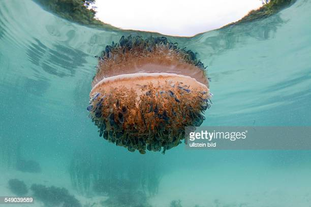 Upside-Down Jellyfish at Surface, Cassiopea andromeda, Risong Bay, Micronesia, Palau