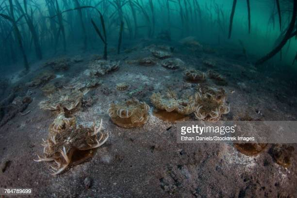 upside-down jellyfish lay on the seafloor of a mangrove forest in komodo national park. - upside down jellyfish stock pictures, royalty-free photos & images