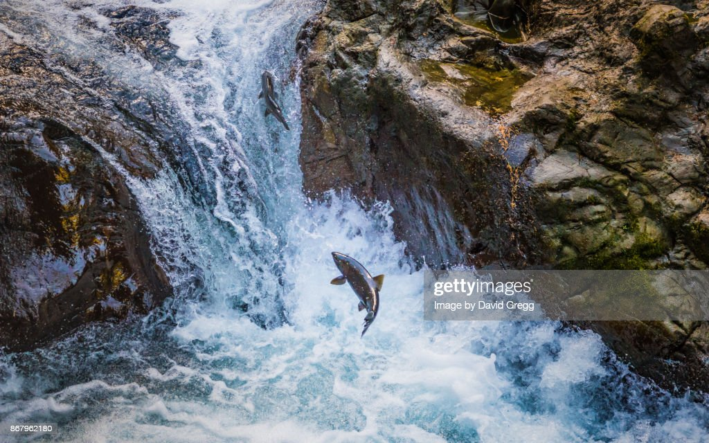Upstream Salmon : Stock Photo