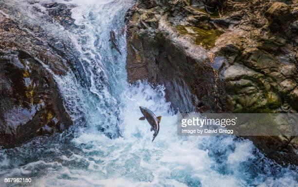 Upstream Salmon
