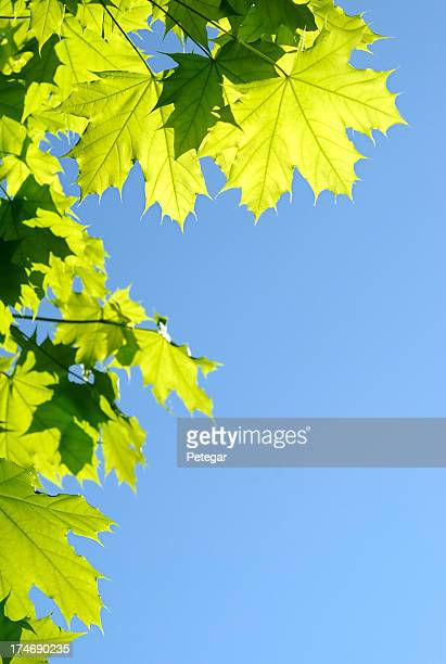 Upward shot of green leaves against solid blue sky