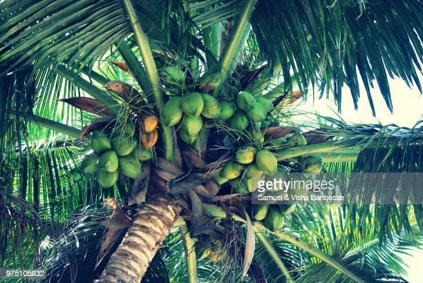 upward view of coconut palm tree, grand bay, maurtius - ココヤシの木 ストックフォトと画像