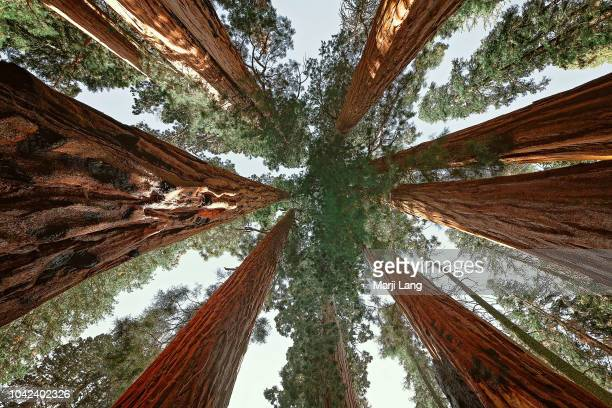 Upward view of giant sequoias in Sequoia National Park California USA
