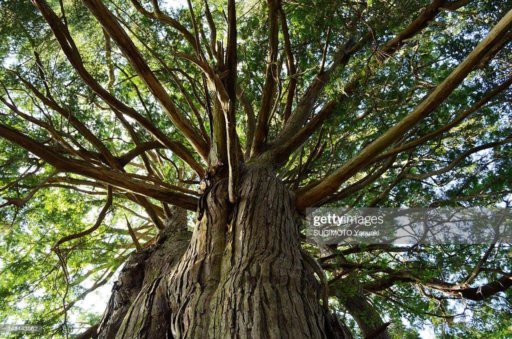 Upward view of Japanese cypress tree : ストックフォト
