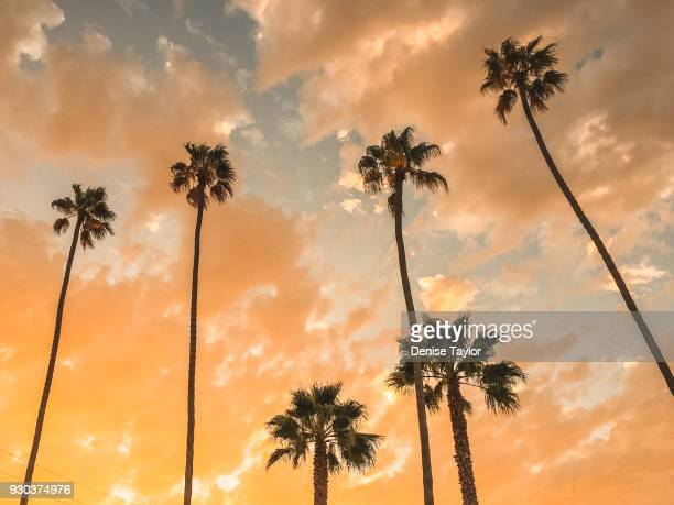 upward view of palms - kalifornien stock-fotos und bilder