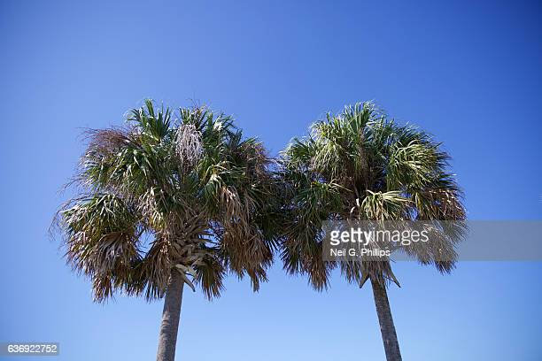 Upward view of two palm trees against a blue sky December 3 2016 in Venice Florida