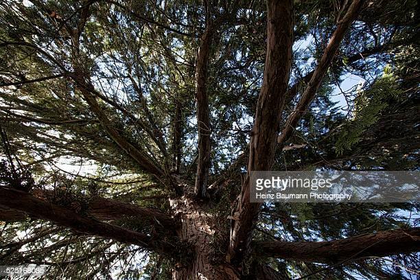 Upwards shot of a Cypress tree