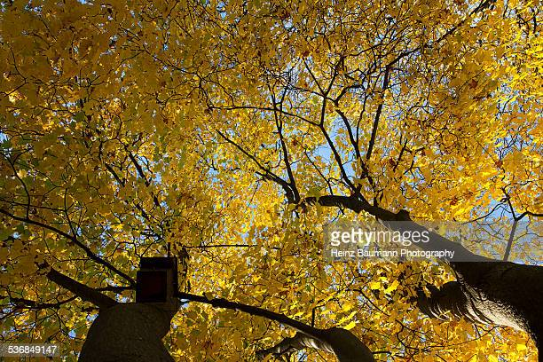 upwards shot of a maple tree during the fall - heinz baumann photography stock-fotos und bilder