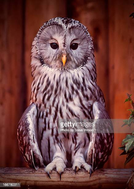 ural owl at chester zoo - chester zoo stock pictures, royalty-free photos & images