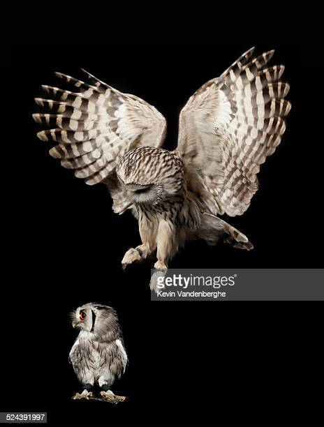 ural owl attacks white-faced scops owl - black dwarf stock pictures, royalty-free photos & images