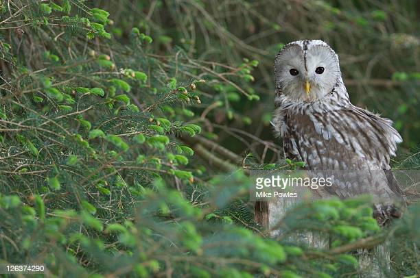 Ural Owl (Strix uralensis ) in tree, UK