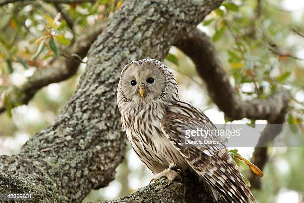 Ural owl on tree branch
