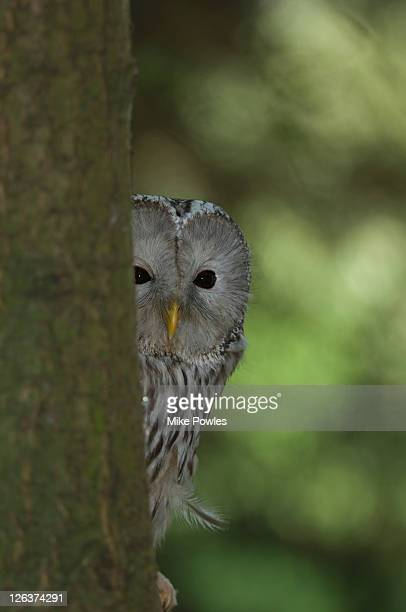 Ural Owl (Strix uralensis ) peeking around tree, UK