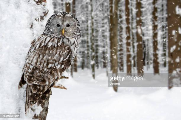 Ural owl perched in tree in forest during snow shower in winter