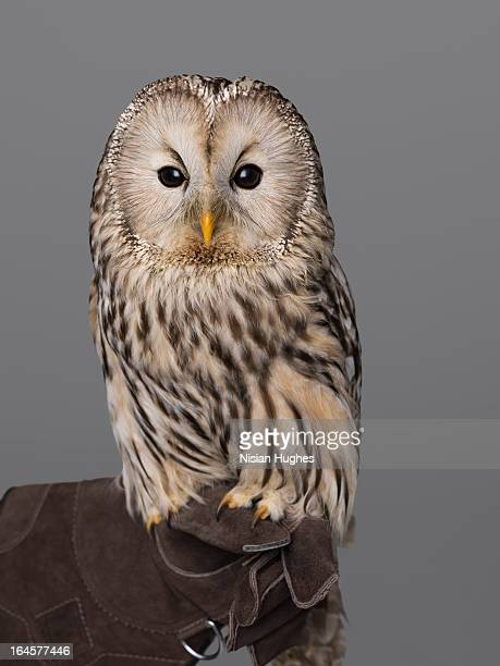 Ural Owl perched on Falconers Glove