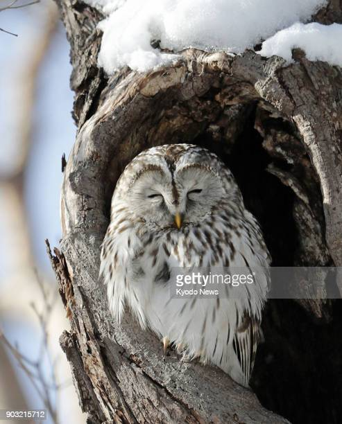 A Ural owl perches on a tree at a park in Sapporo Hokkaido on Jan 10 2018 ==Kyodo