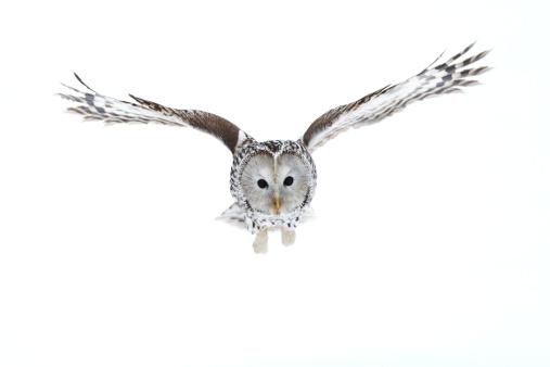 Ural Owl 159754325