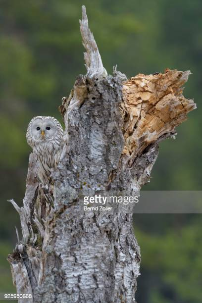 Ural Owl (Strix uralensis), sitting on old birch trunk, Bohemian Forest, Czech Republic