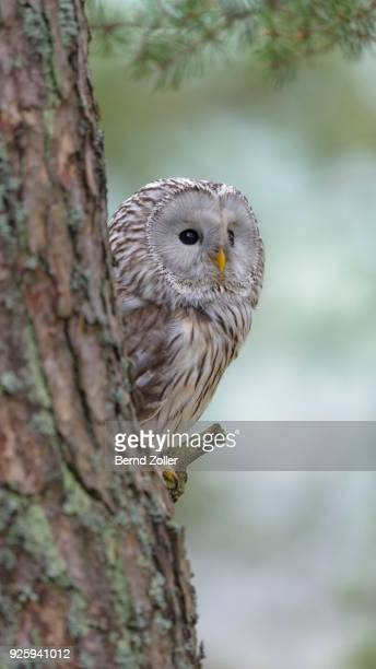 Ural Owl (Strix uralensis), sitting on pine trunk, Bohemian Forest, Czech Republic