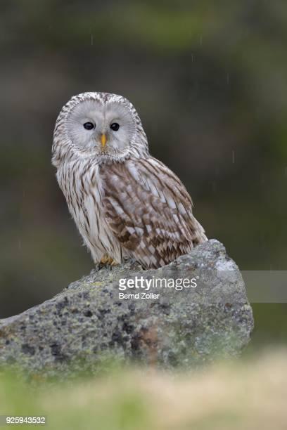 Ural Owl (Strix uralensis), sitting on stone, rain, Bohemian Forest, Czech Republic