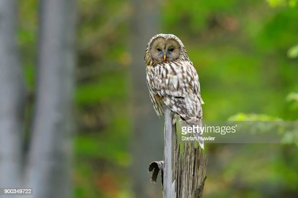 Ural owl (Strix uralensis), sitting on tree trunk, Buekk National Park, Hungary