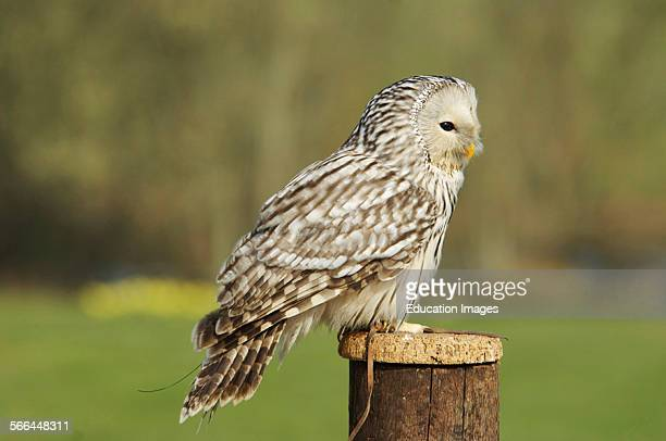 Ural Owl Strix uralensis ICBP Newent Gloucestershire