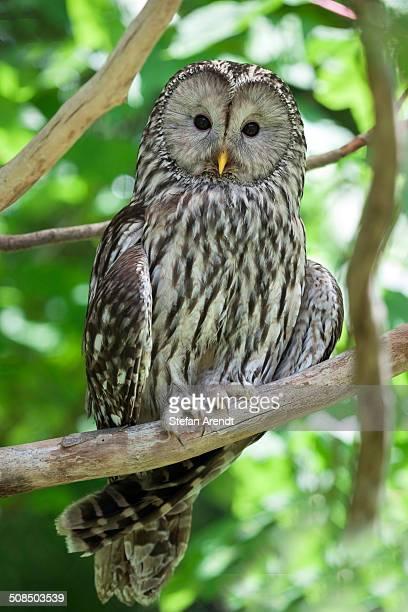Ural Owl -Strix uralensis-, Neuschoenau outdoor animal enclosure, Bavarian Forest, Bavaria, Germany, Europe