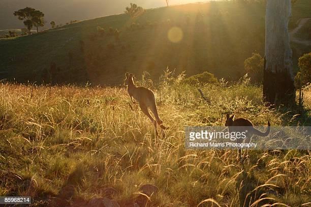 urambi roos - kangaroo stock pictures, royalty-free photos & images